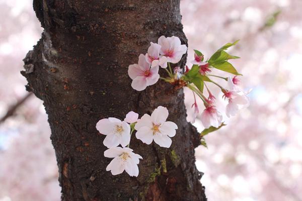벚꽃 사진2