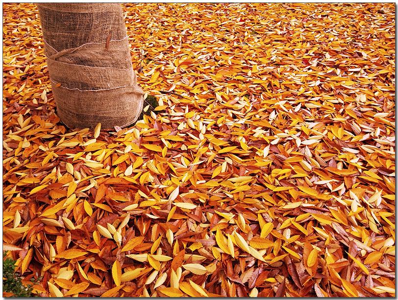 MC생산기술팀 여민수 과장이 LG G2로 촬영한 바닥에 떨어진 노란 단풍의 모습이다