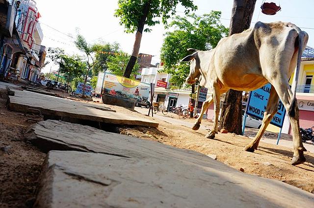 길거리를 활보하는 소의 모습