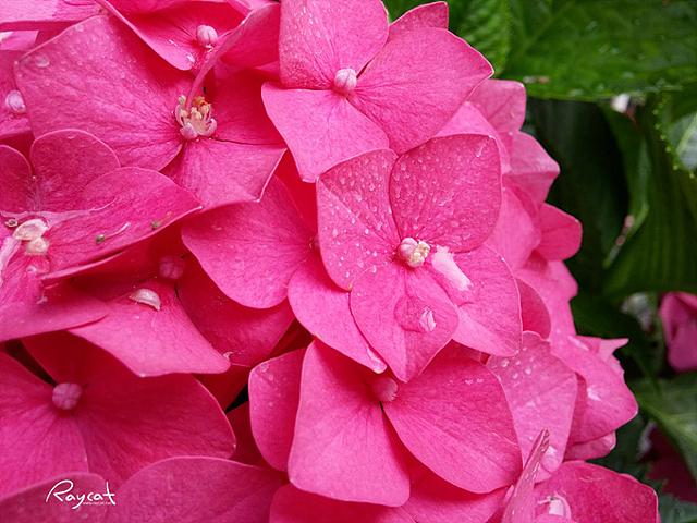 핑크색 꽃에 물방울이 송글송글 맺혀있다
