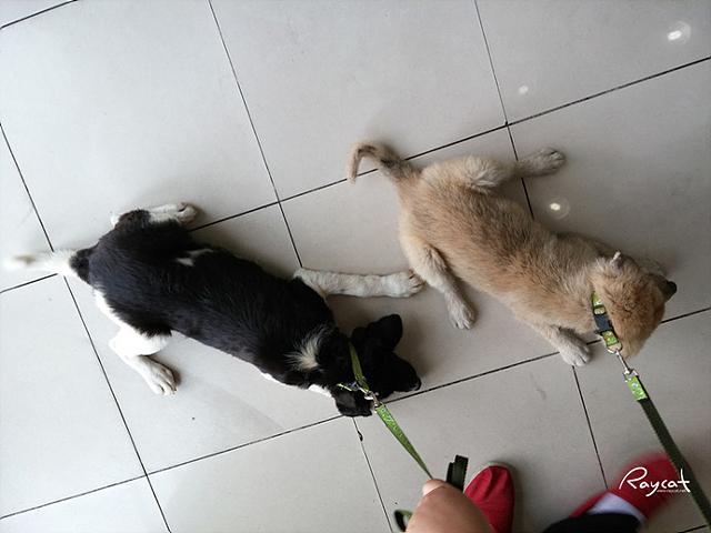 강아지 두 마리가 목에 줄을 매고 병원에 끌려가고 있다. 네 발로 버티고 있는 모습.