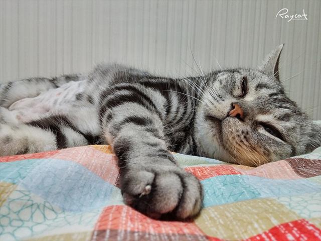 검은색과 흰색, 회색이 섞인 단모종 고양이가 침대에 누워있다.
