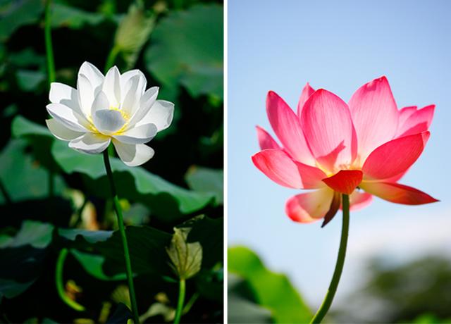 하얀색과 붉은색 연꽃이 만개한 모습