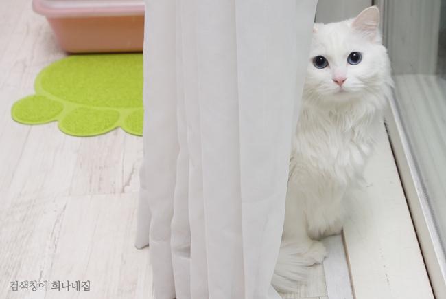 흰색 고양이가 커튼 뒤에 숨어있다.