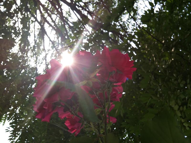 빨갛게 핀 꽃의 사진을 카메라로 담았다. 역광을 받아 꽃 사이로 햇살이 비치는 사진.