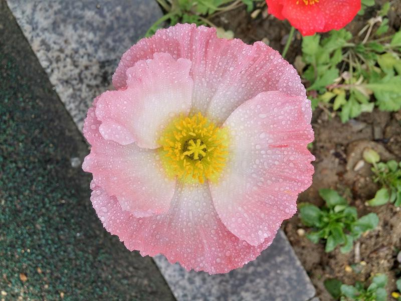 아침 이슬에 젖어있는 분홍색 꽃