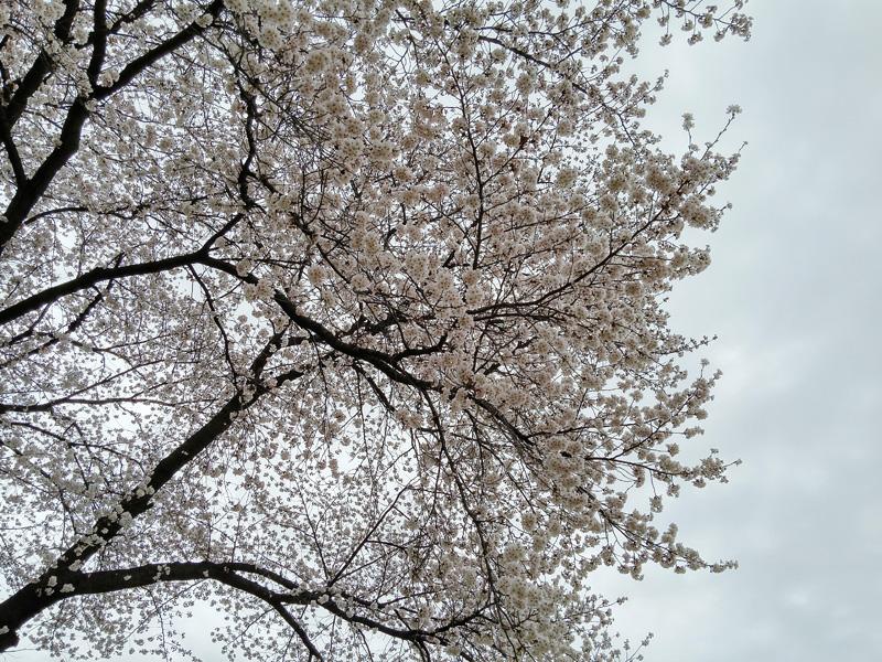 벚꽃이 흐드러지게 핀 나무를 밑에서 촬영한 사진