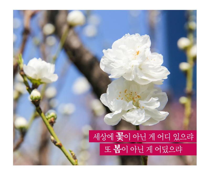 세상에 꽃이 아닌 게 어디 있으랴 또 봄이 아닌게 어딨으랴 - 나무에 피어있는 흰색 꽃