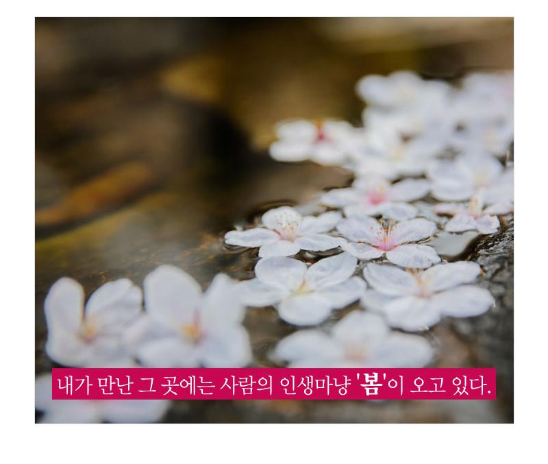 내가 만난 그 곳에는 사람의 인생마냥 '봄'이 오고 있다. - 물 위에 떠 있는 떨어진 벚꽃의 모습