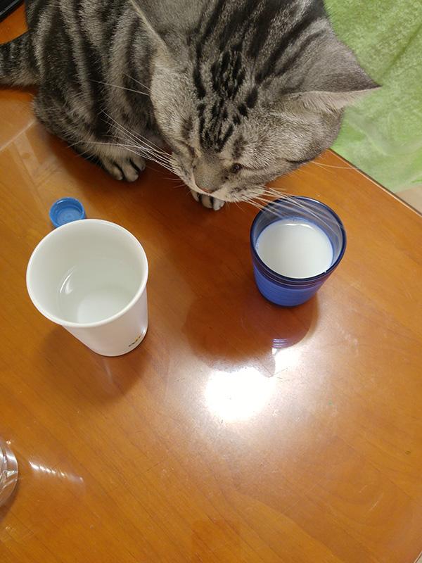 고양이 한 마리가 컵 안의 우유를 내려다 보고 있다