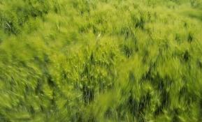 바람이 지나가는 보리밭