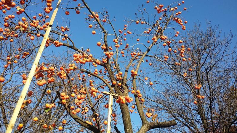 서울 남산의 한 구석에서 촬영한 가을의 감나무