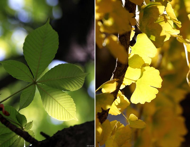초록색으로 물든 나뭇잎(좌), 노랗게 물든 은행잎(우)