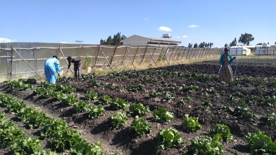 곡물만 심던 지역에서 비트루트, 양파 등 원예 식물 재배에 성공한 LG희망마을 시범농장
