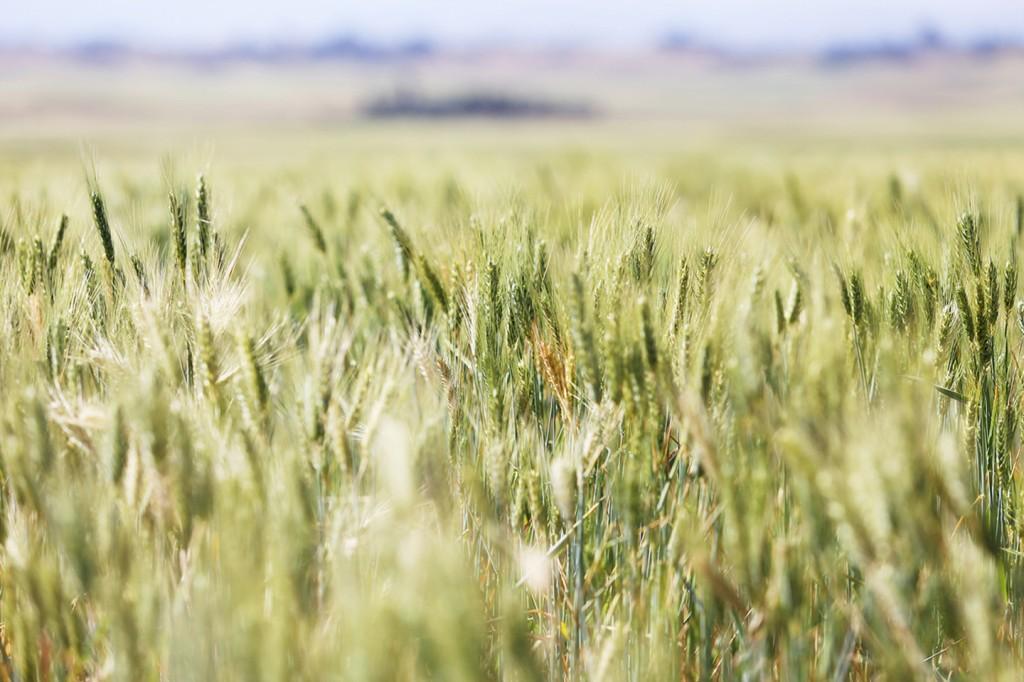 풍성한 밀밭