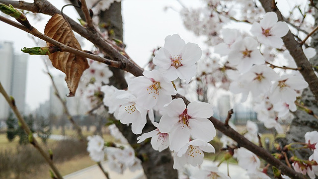 G5로 초근접 촬영한 벚꽃 사진