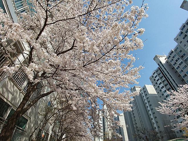 G5 광각 카메라로 담아낸 벚꽃 나무의 모습입니다.