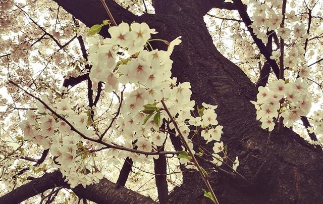 린즈_벚꽃