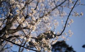 벚꽃과 함께하는 아름다운 나의 출근길
