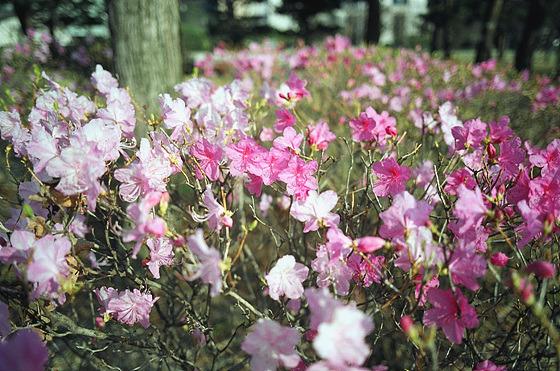 진달래 꽃 사진