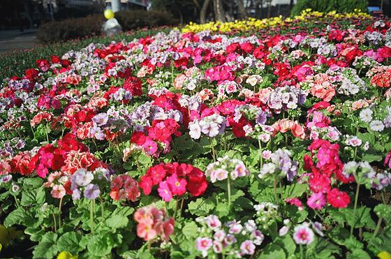 화단의 꽃 사진