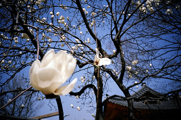 벚꽃 사진